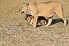 Lion_Cubs_Amboseli_Elewana__0018