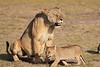 Lion_Cubs_Amboseli_Elewana__0003