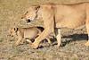 Lion_Cubs_Amboseli_Elewana__0024