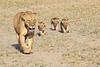 Lion_Cubs_Amboseli_Elewana__0051