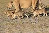 Lion_Cubs_Amboseli_Elewana__0010
