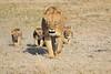 Lion_Cubs_Amboseli_Elewana__0032