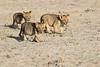 Lion_Cubs_Amboseli_Elewana__0043