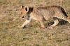 Lion_Cubs_Amboseli_Elewana__0026