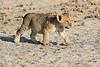 Lion_Cubs_Amboseli_Elewana__0045