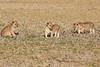 Lion_Cubs_Amboseli_Elewana__0011