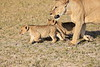 Lion_Cubs_Amboseli_Elewana__0020