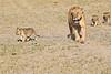 Lion_Cubs_Amboseli_Elewana__0050