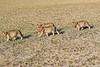 Lion_Cubs_Amboseli_Elewana__0017