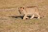 Lion_Cubs_Amboseli_Elewana__0002