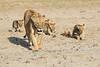 Lion_Cubs_Amboseli_Elewana__0039