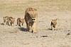 Lion_Cubs_Amboseli_Elewana__0036