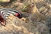 Lion_Cubs_Mara_North_Elewana__0875