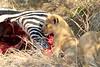 Lion_Cubs_Mara_North_Elewana__0899