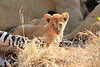 Lion_Cubs_Mara_North_Elewana__0923