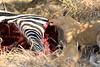 Lion_Cubs_Mara_North_Elewana__0892