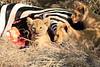Lion_Cubs_Mara_North_Elewana__0903