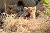 Lion_Cubs_Mara_North_Elewana__0925