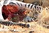 Lion_Cubs_Mara_North_Elewana__0919