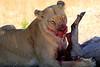 Lions_Kill_Warthog_Mara_North_Elewana__0029