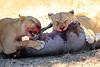 Lions_Kill_Warthog_Mara_North_Elewana__0046