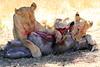 Lions_Kill_Warthog_Mara_North_Elewana__0010