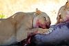 Lions_Kill_Warthog_Mara_North_Elewana__0044