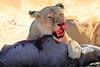 Lions_Kill_Warthog_Mara_North_Elewana__0039
