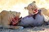 Lions_Kill_Warthog_Mara_North_Elewana__0054