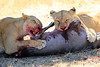 Lions_Kill_Warthog_Mara_North_Elewana__0047