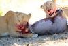 Lions_Kill_Warthog_Mara_North_Elewana__0055