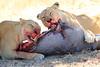 Lions_Kill_Warthog_Mara_North_Elewana__0052