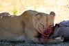 Lions_Kill_Warthog_Mara_North_Elewana__0027