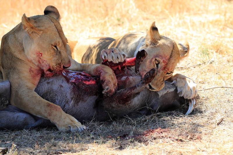 Lions_Kill_Warthog_Mara_North_Elewana__0004