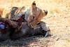 Lions_Kill_Warthog_Mara_North_Elewana__0012