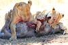 Lions_Kill_Warthog_Mara_North_Elewana__0003
