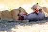 Lions_Kill_Warthog_Mara_North_Elewana__0036