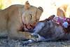 Lions_Kill_Warthog_Mara_North_Elewana__0015