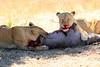 Lions_Kill_Warthog_Mara_North_Elewana__0038