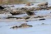 Nile_Crocodile_Mara_Reserve_Asilia__0020