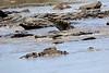 Nile_Crocodile_Mara_Reserve_Asilia__0019