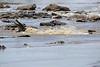 Nile_Crocodile_Mara_Reserve_Asilia__0001