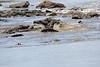 Nile_Crocodile_Mara_Reserve_Asilia__0015