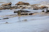Nile_Crocodile_Mara_Reserve_Asilia__0031