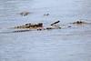 Nile_Crocodile_Mara_Reserve_Asilia__0081