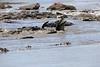 Nile_Crocodile_Mara_Reserve_Asilia__0011