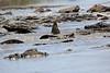Nile_Crocodile_Mara_Reserve_Asilia__0005