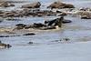 Nile_Crocodile_Mara_Reserve_Asilia__0010