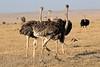 Ostrich_Mara_Reserve_Asilia__0016