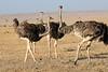 Ostrich_Mara_Reserve_Asilia__0020